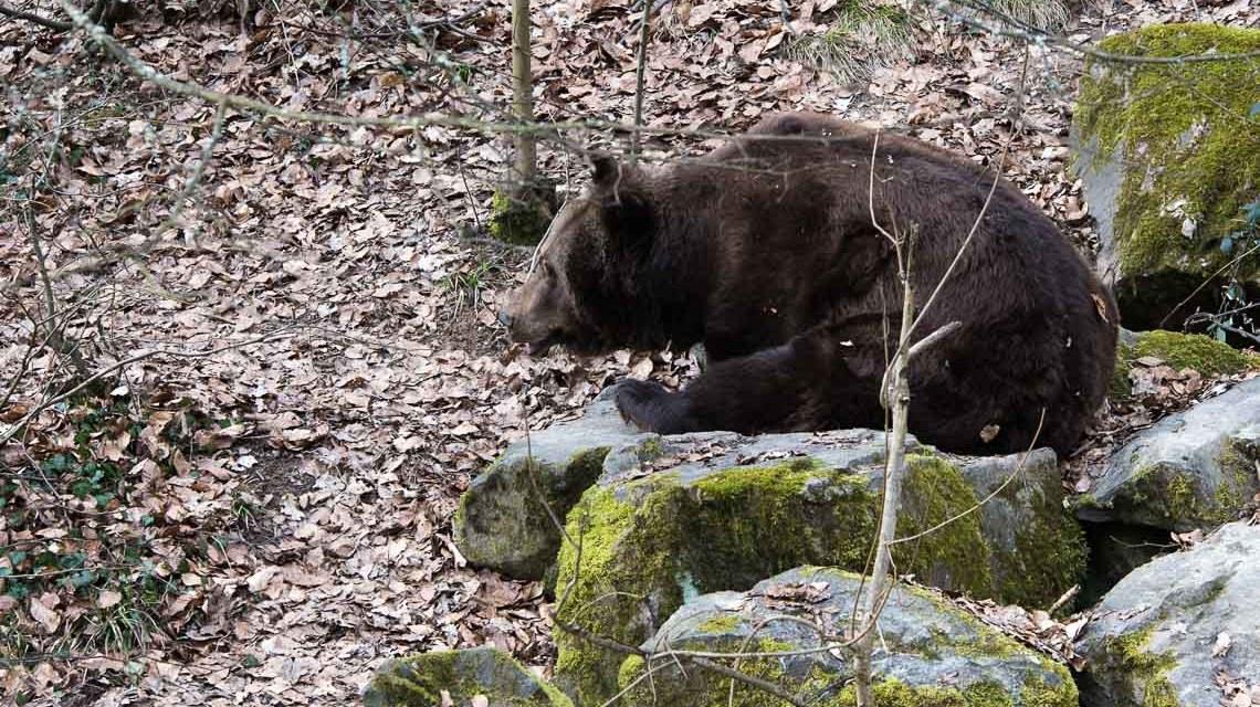 Bär im Freigehege im Tier- und Pflanzenpark Fasanerie. ©2018 Volker Watschounek