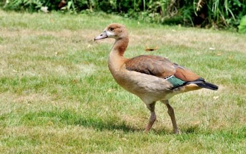 Juvenile Egyptian Goose im Frankfurt Zoo. ©2018 Quartl / Wikipedia / CC-BY-SA-3.0