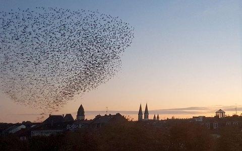Der Star bewegt sich in Schwarmen und in atemberaubenden Formation über Wiesbaden. ©2018 Julia Dieter