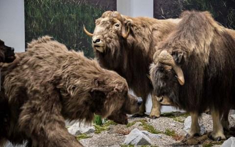 Museum Wiesbaden | Ausstellung Eiszeit Safari | 7. Oktober 2018 bis 21. April 2019 ©2019 Museum Wiesbaden