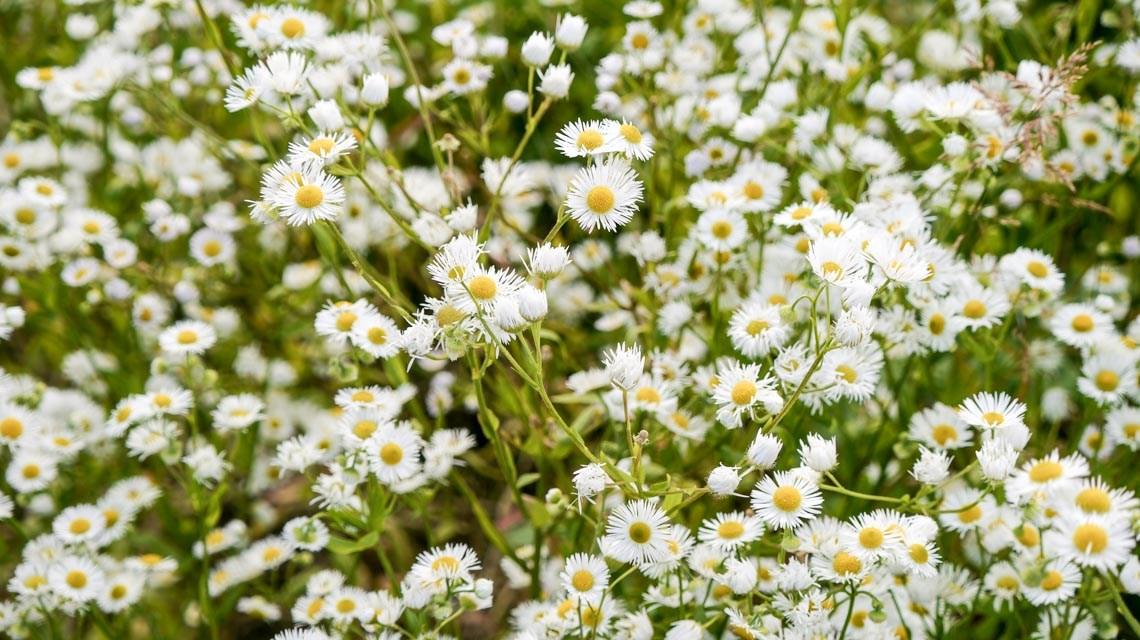 Wildkräuterwanderung – Wilde Kamille – Angy DS / Flickr / CC BY 2.0