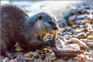 Otter im New Forest Wildlife Park. ©2019 Smudge 9000 | Flickr | CC BY SA 2.0