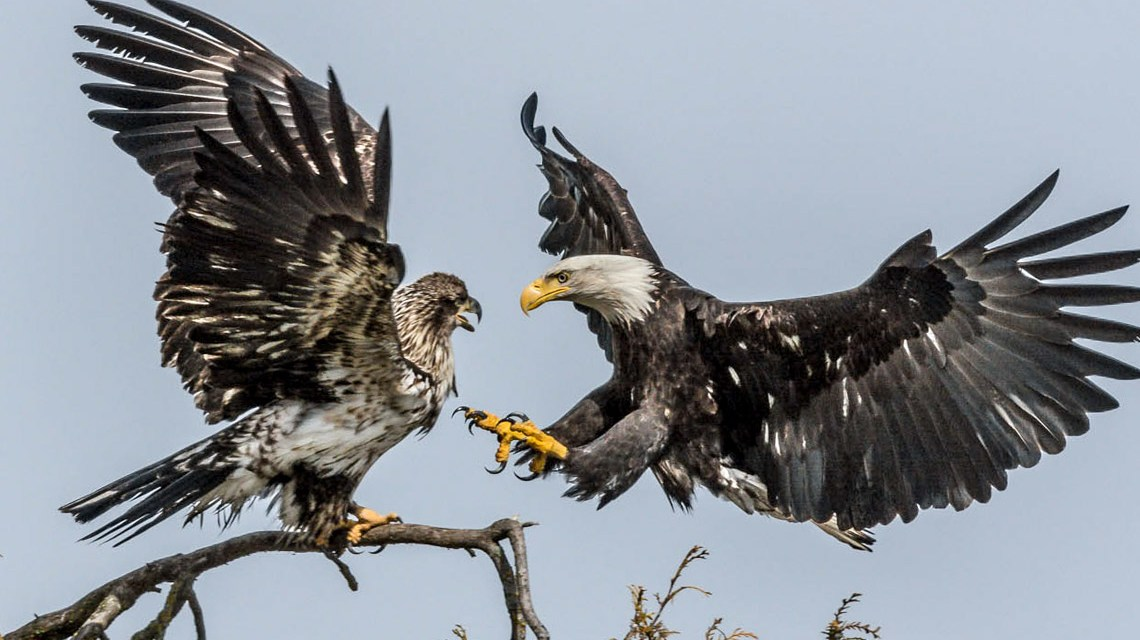 Greifvögel, Adler im Freien. ©2019 JohnCritchley | Flickr | CC-BY-20.jpg