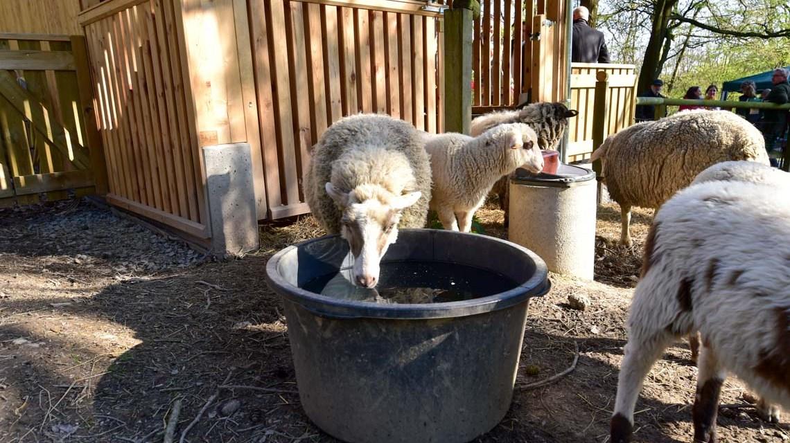 Fasanerie : Einst galt das Schaf als dumm, heute unterstützt es Sherlock Homes. ©2019 Volker Watschounek
