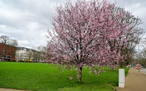 Kirschblüte in den Reisinger Anlagen