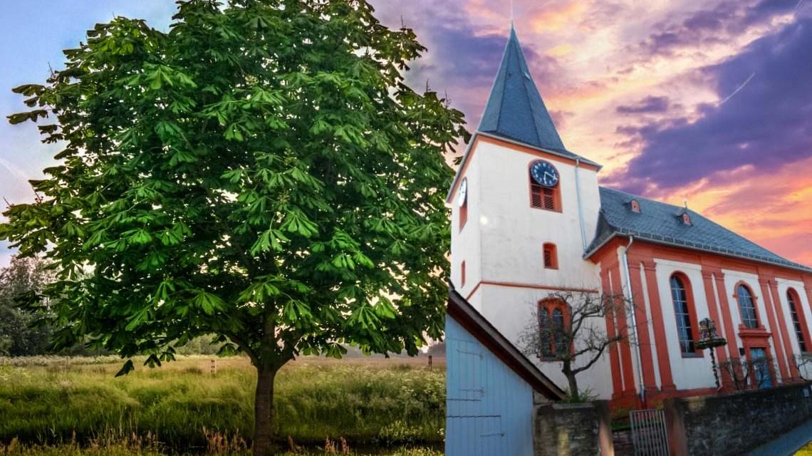 Kastanie, Baumkrone von Naturdenkmal in Igstadt ausgebrochen