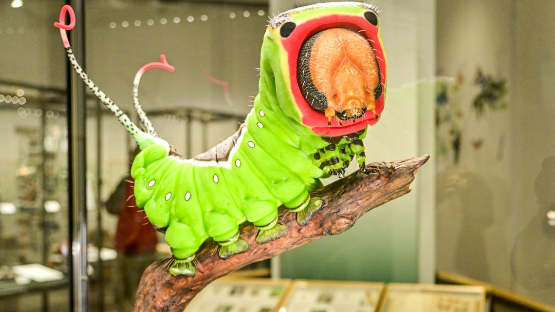 Schmetterlingen auf der Spur im Landesmuseum
