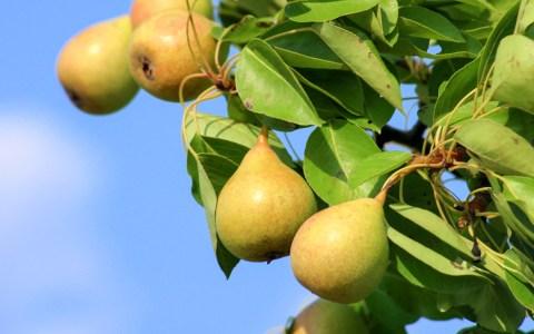 Birnen - Birnbaum ©2020 Alicja auf Pixabay