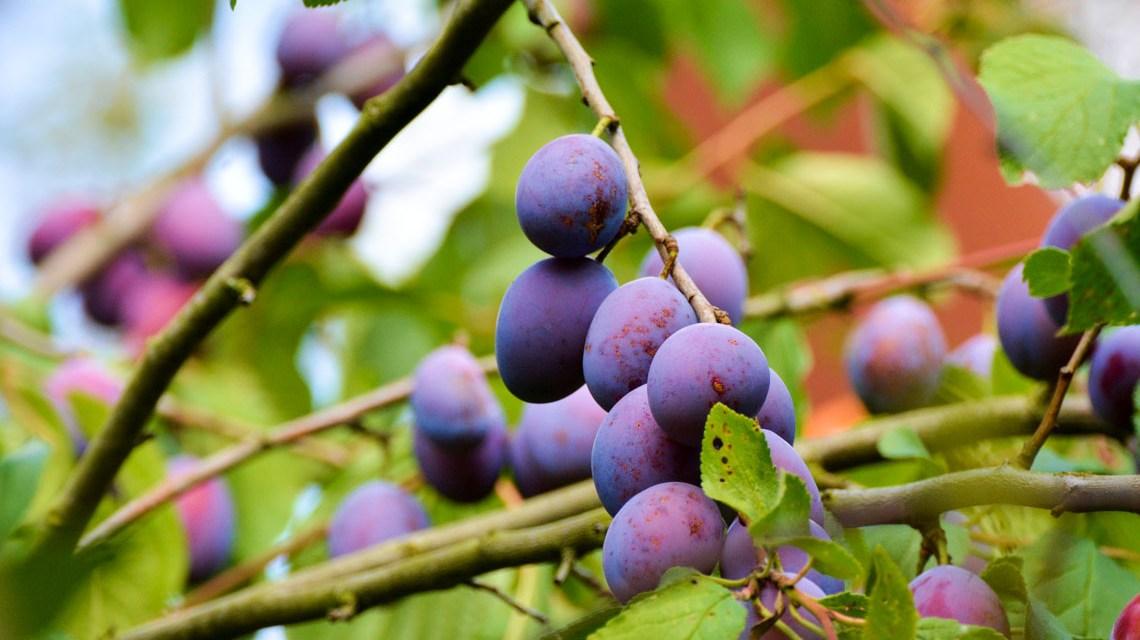 Pflaumenbaum - ©2020 congerdesign auf Pixabay