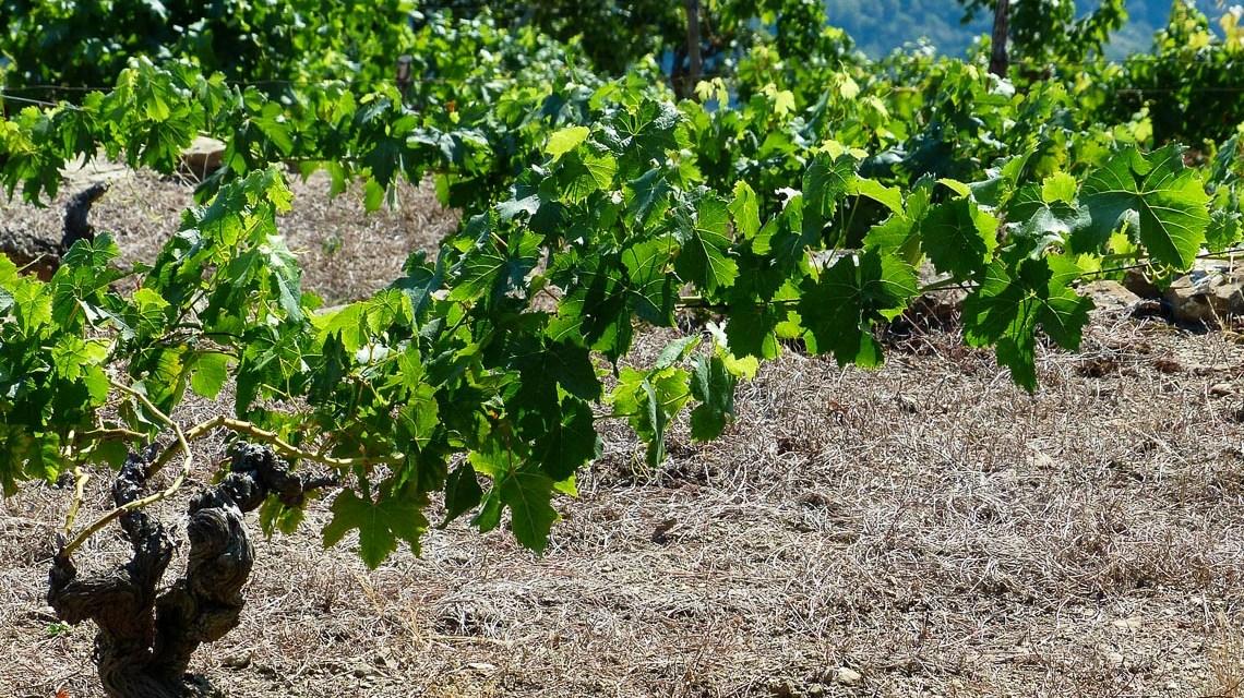 Klimawandel und Weinbau – Stress für die Rebe?