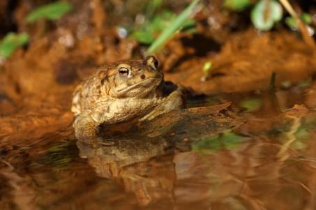 Erdkröte an einem kleinen Bächlein. Das Wasser ist eisenhaltig.