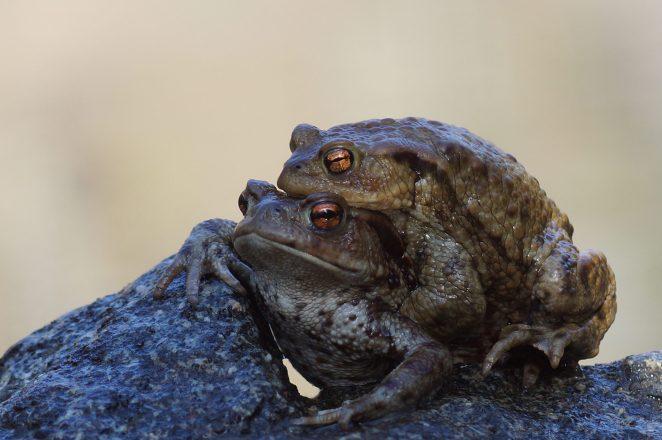 Die größeren Krötenweibchen haben es nicht leicht...oft lassen sich die Männchen im Frühjahr zum Laichgewässer tragen.