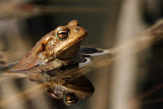 Bufo bufo, die Erdkröte. Sie haben beeindruckende Augen.
