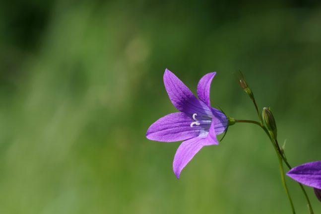 Glockenblume auf einer Wiese