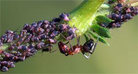"""Die Ameisen wiederum leben in einer Symbiose mit den Blattläusen. Dafür dass sie diese """"melken"""" können ( Mehltau ernten können) bewachen sie die Blattläuse vor Feinden."""