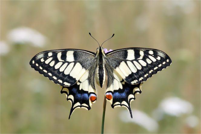 Prächtiger Schwalbenschwanz (Papilio machaon)