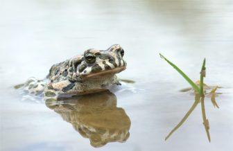 Wechselkröte (Bufo viridis) Bild 3