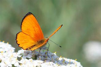 Dukatenfalter Männchen (Lycaena virgaureae) im Sonnenlicht ,