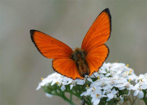 Leuchtendes Rotgold - Dukatenfalter Männchen (Lycaena virgaureae)