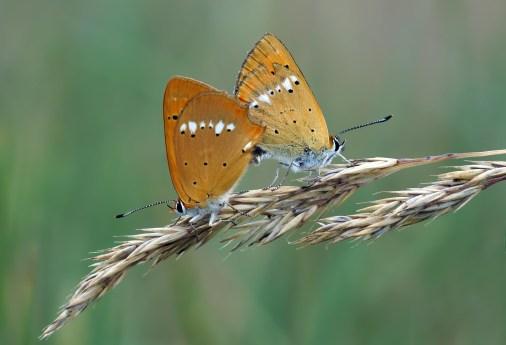 Standortwechsel - Dukatenfalterliebe , Paarung der Dukatenfalter (Lycaena virgaureae)