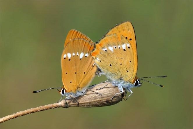Dukatenfalterliebe - Goldvermehrung (Lycaena virgaureae)