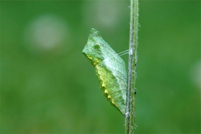 Gürtelpuppe vom Schwalbenschwanz (Papilio machaon)