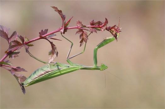 Abahängen... Mantis religiosa