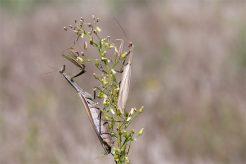 Hau bloß schnell ab... Männchen von Mantis religiosa flüchtet nach dem Liebesakt