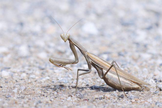 Auf dem Weg...weibliche Gottesanbeterin Mantis religiosa überquert den Weg zum Ginster