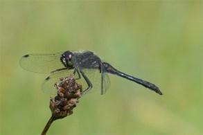 Wie ein Schornsteinfeger - Schwarze Heidelibelle, männlich