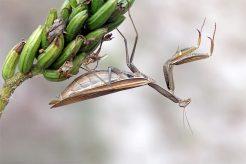 Schwangerschaftsgymnastik? Weibliche Mantis religiosa kurz vor der Eiablage