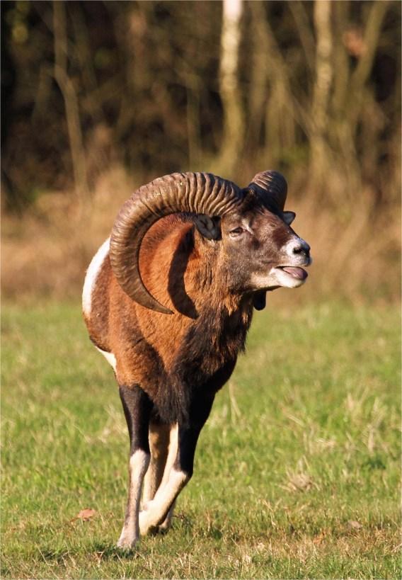 Prächtige Hörner, Mufflon-Widder