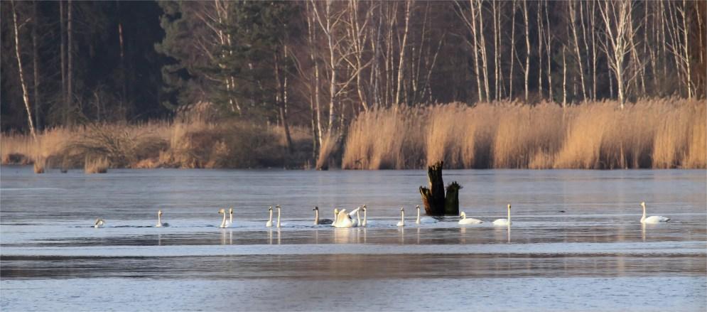 Singkonzert auf dem Wasser - Singschwäne als Wintergäste