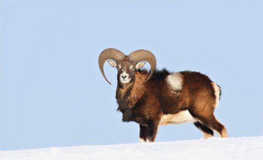 Im tiefen Schnee - Mufflonwidder