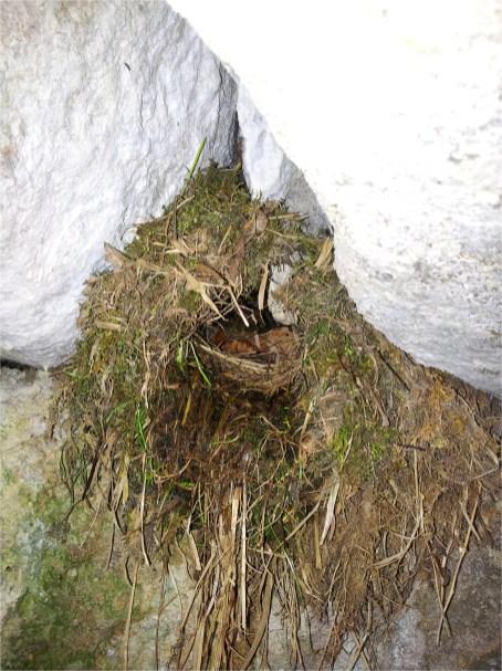 Nest der Wasseramseln unter einer Brücke