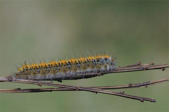 Kleespinnerraupe, Glucke, Nachtfalter