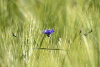 Kornblumenblau ... im Gerstefeld