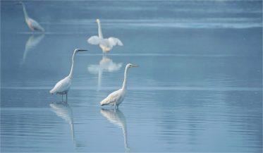 Silberreiher - Egretta alba - am Morgen