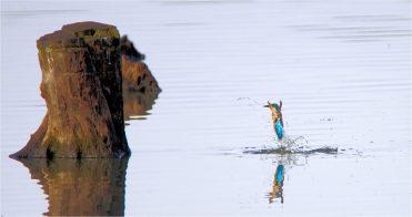 Plopp.... Auftauchender Eisvogel - Alcedo atthis