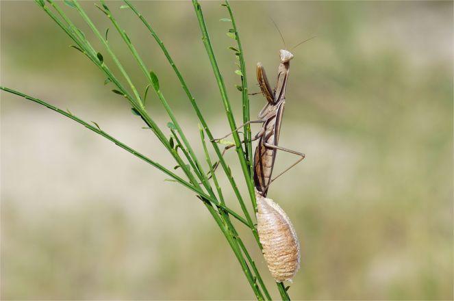 Mantis religiosa - Europäische Gottesanbeterin mit Eikokon, genannt Oothek, Braune Variante