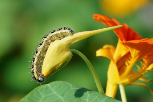Raupe vom Großen Kohlweißling - Pieris brassicae- auf Kapuziner Kresse