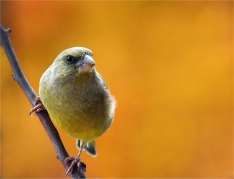 Grünfink vor buntem Ahorn