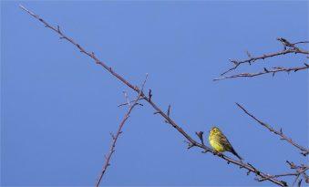 Goldammer- Emberiza ctrinella ( Ammern) allein im Baum