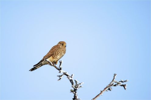 Turmfalke (Falco tinnunculus), sitzend