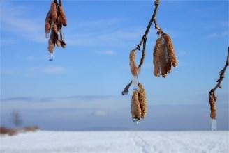 Baumhaselkätzchen im Frostkleid