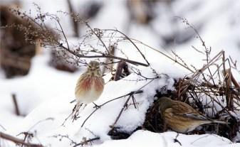 Bluthänflinge - Carduelis cannabina ( Finken )