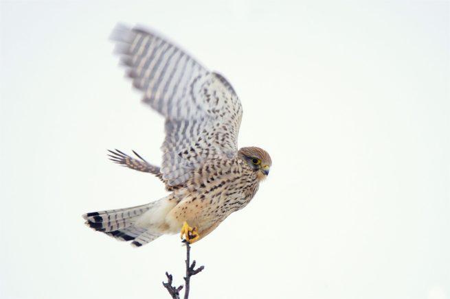 Abflug ... Turmfalken Weibchen - Falco tinnunculus ( Falken)