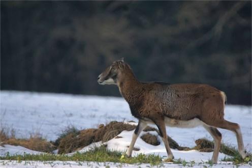 Wildschaf - Mufflonschaf - wildelife