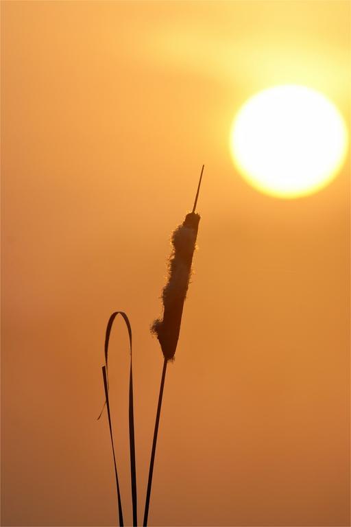 Rohrkolben beim Sonnenaufgang