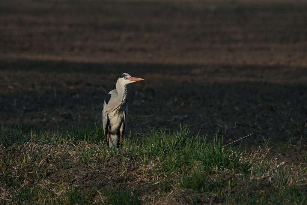 Graureiher oder Fischreiher (Ardea cinerea)
